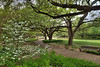 Dogwoods at the Fort Worth Botanic Garden