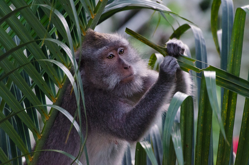 A macaque from the nearby monkey forest samples the vegetation at the resort outside our window
