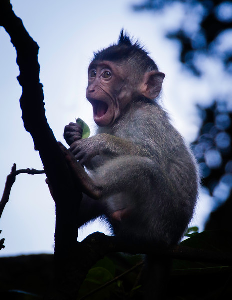 A young macaque sits in a tree and yells for its mother