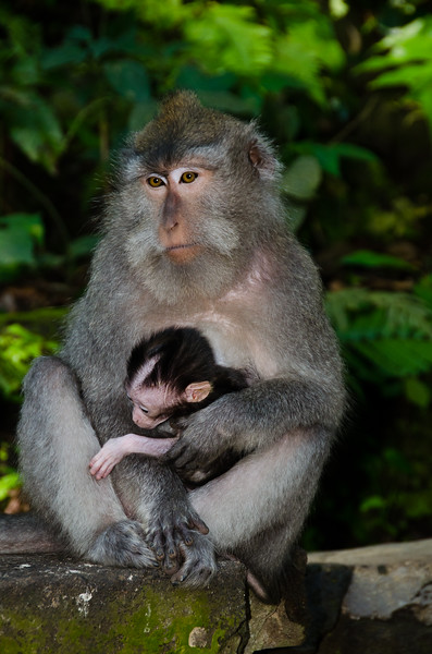 A mother and baby macaque sit by the trail and watch the tourists go by