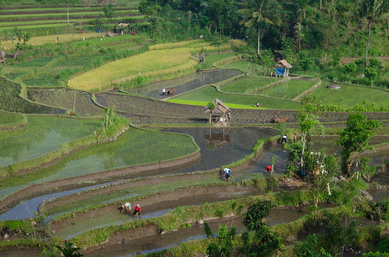 Workers plant new rice in the fields
