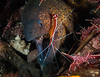 Yellowmargin Moray gets a cleaning from a Striped Cleaner shrimp in a crevice full of Durban hinge-beak shrimp