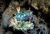 Hypselodoris (sp. 2)  nudibranch pair