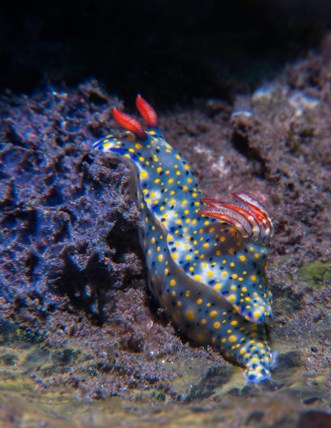 Hypselodoris (sp. 2) nudibranch