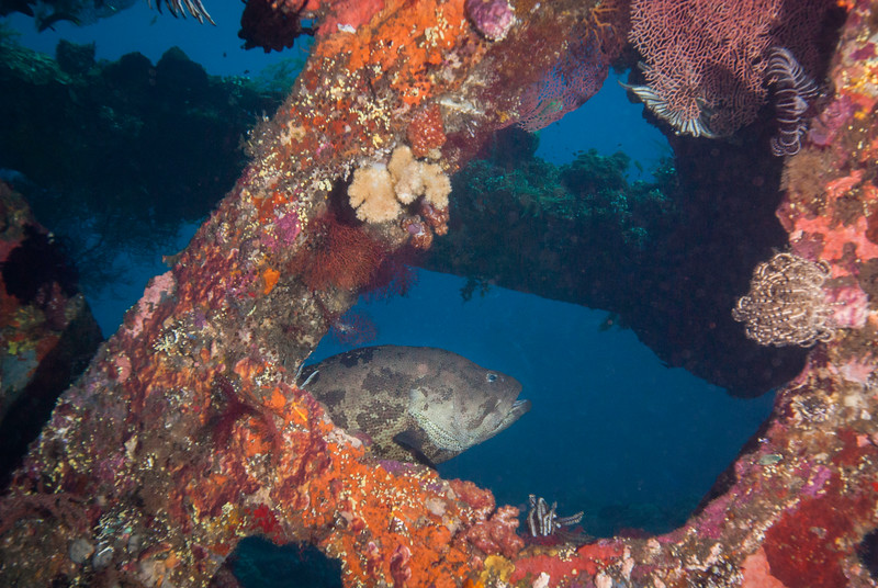 Brown-marbled grouper moves through the wreck