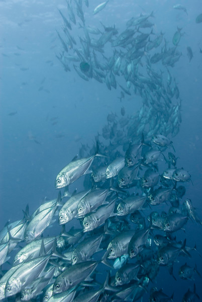 Large school of giant travally swim over the wreck