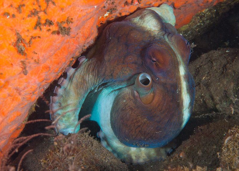 A day octopus hides under a ledge