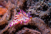 Favorinus sp.1 nudibranch