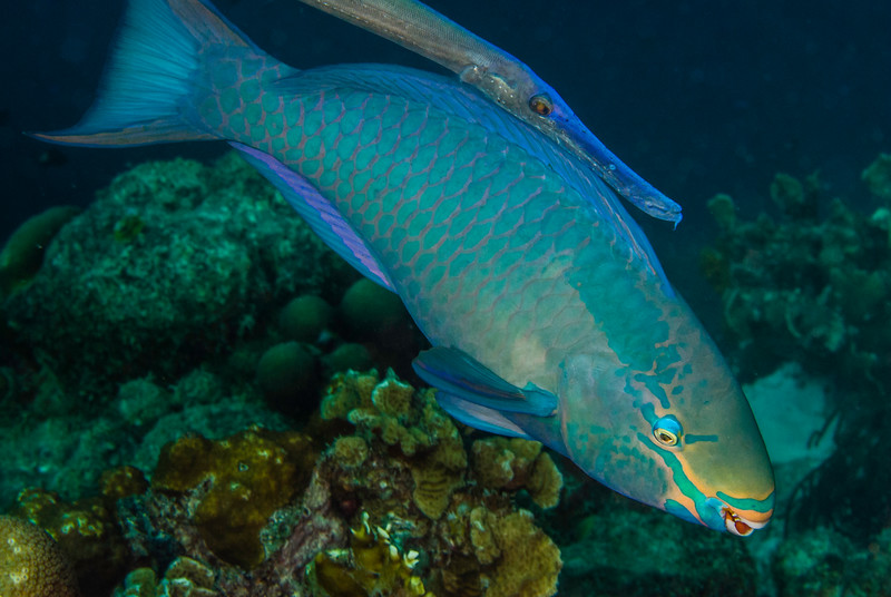 Queen Parrotfish and Accompanying Trumpetfish