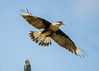 Crested Caracara takes flight