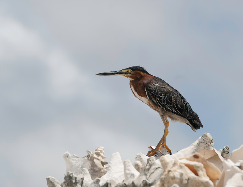 Least Bittern sits attop a pile of old Conch shells