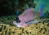 Creole Wrasse gets full treatmant from cleaner gobys