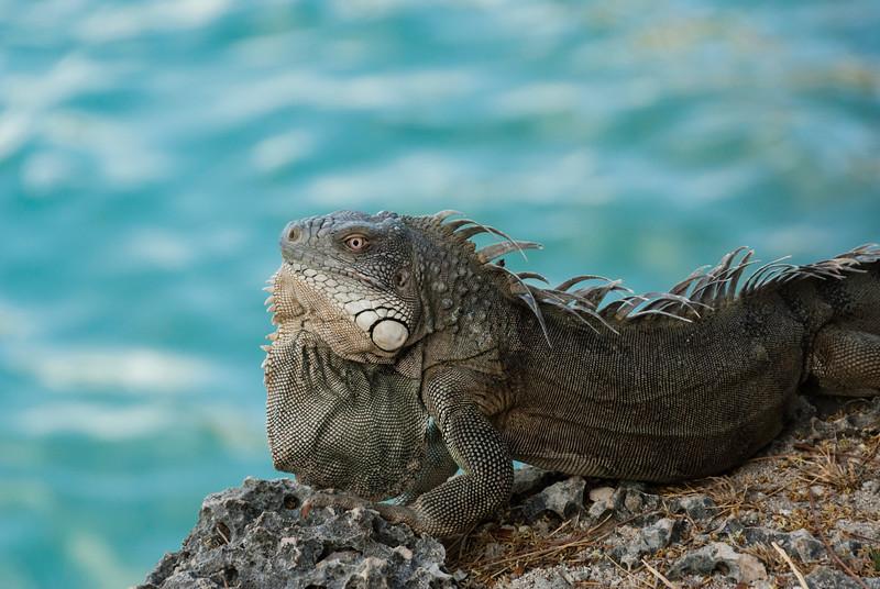 Resort Iguana soaks up morning sun
