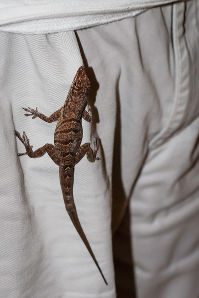A little gecko tries to come home with me (Photo by Kathy Mendes)