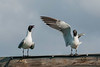 Laughing Gulls set up a racket