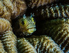Spinyhead Blenny hiding in a coral