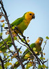 Yellow-shouldered Parrots in the wild