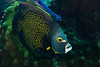 French Angelfish and Accompanying Trumpetfish
