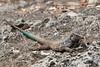 Blue Whiptail Lizard