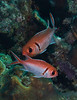 Blackbar Soldierfish Pair