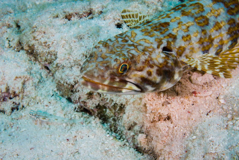 Sand Diver eyes a potential meal