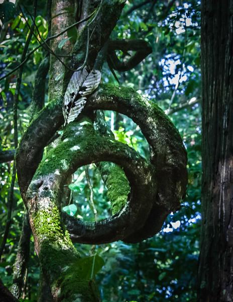 A Strangler Fig Tree Lives on After Host Rots Away