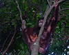 Pregnant Orang Utan in tree looks me over