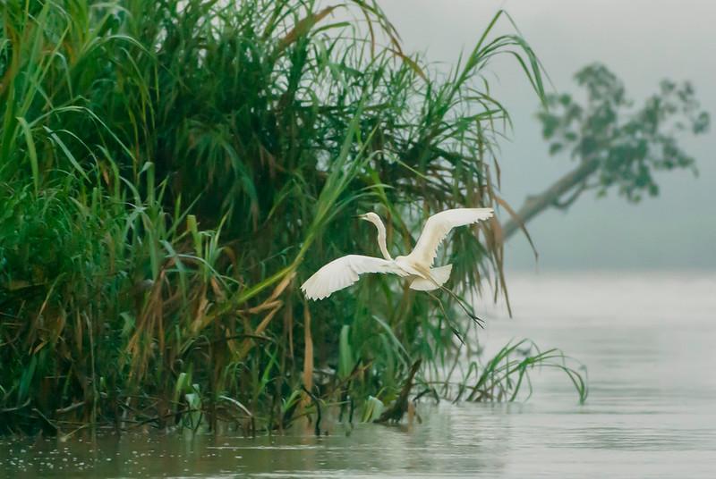 Intermediate Plumed Egret