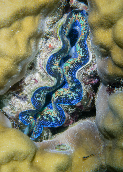 """Small """"Giant Clam"""" with Blenny"""