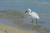 Pacific Reef Egret (White Phase)