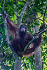 Pregnant Orang Utan in a tree watches the tourists