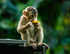 A young Macaque enjoys a banana peel