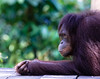 Female Orang Utan at Sepilok Orangutan Rehabilitation Centre waits patiently for afternoon feeding