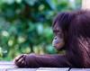 Female Orang Utan at Sepilok Orangutan Rehabilitation Centre waits patiently for afternoon feeding