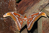 Atlas Moth - 12 inches across!