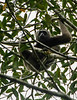Howler Monkey High in the Canopy