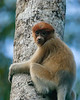 Young Proboscus Monkey Watches from the Tree Tops