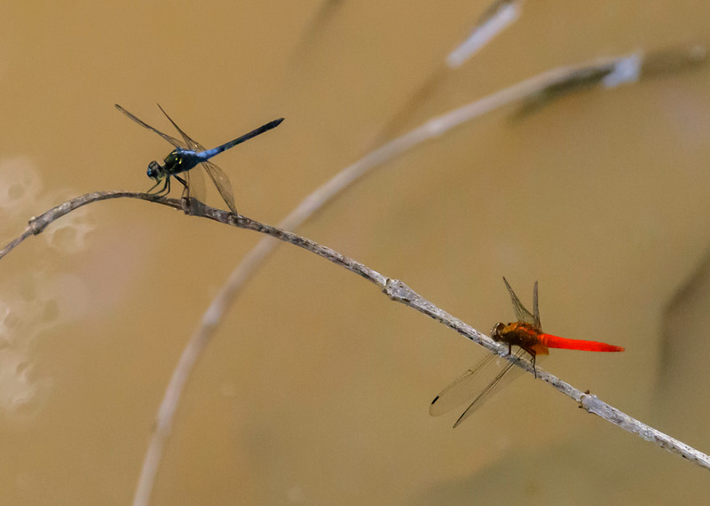 Red and Blue Dragonflys
