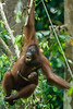 This Mother Orang Utan is a Real Swinger