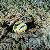 Jawfish in his burrow amongst coral debris on the sea floor