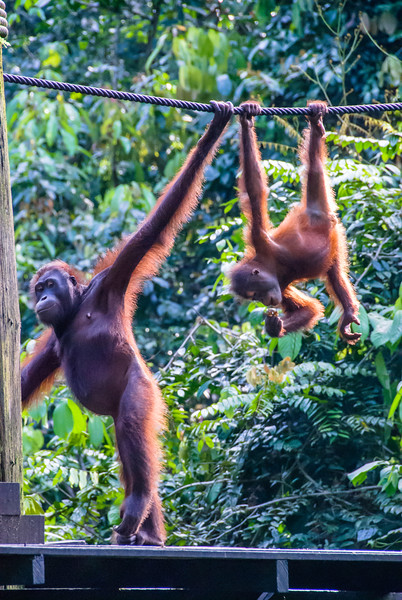 Mother and Young Orang Utan Come for a Meal