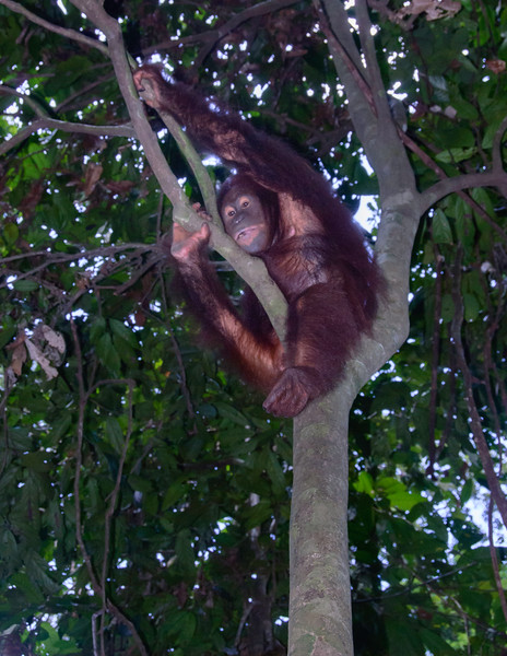 Female Urang Utan watches from the  a tree