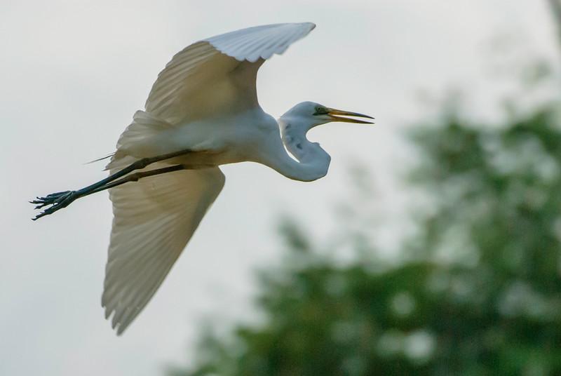 Intermediate Plumed Egret in Flight