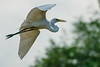 Intermediate Plumed Egret in Flight