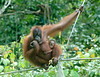 Mother and Baby Orang Utan Share a Meal