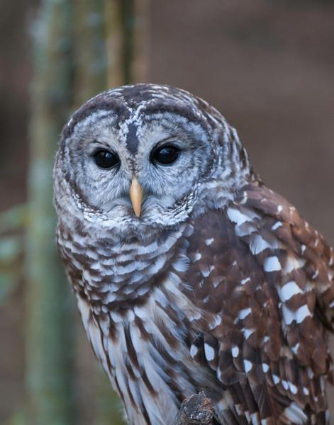 Birds of Homosassa Wild Animal Park - Barred Owl