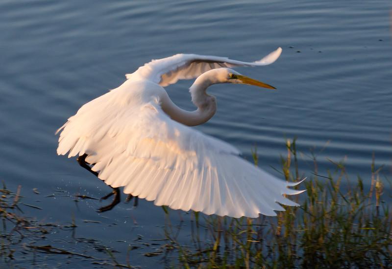 Snowy Egret morning flight