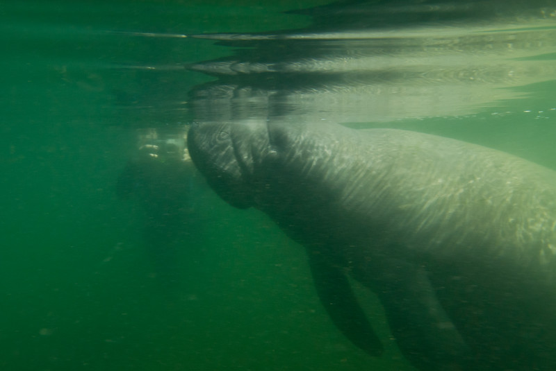 Swimming with the Manatee