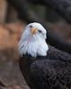Birds of Homosassa Wild Animal Park - American Bald Eagle