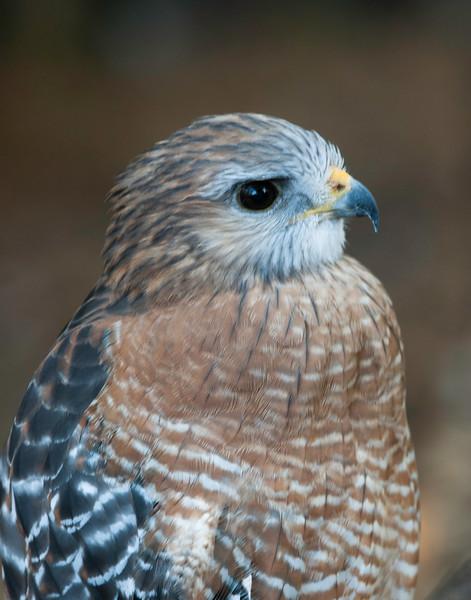 Birds of Homosassa Wild Animal Park - Red-Shouldered Hawk